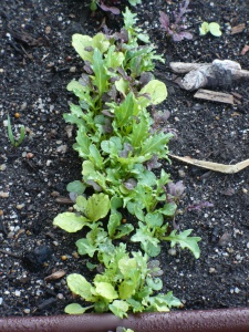 Obviously the 'Bright & Spicy' Mesclun needs to be thinned.