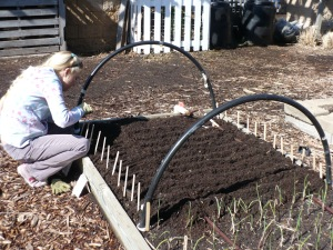 Planting Swiss chard, beets, and carrots in the Family of 4 Garden.