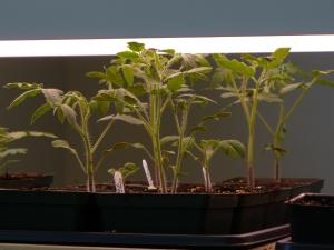 Tall Seedlings