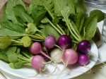 The radishes are medium-sized, but ready to start eating!