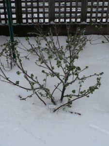 Snow Covered Currant