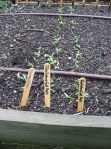 Beet seedlings