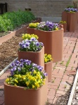 Pansies in Containers