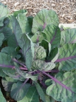 Purple Brussels Sprout