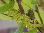 Grapes in bloom