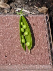 Fresh Peas