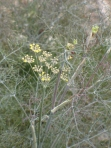 Bronze Fennel Bloom