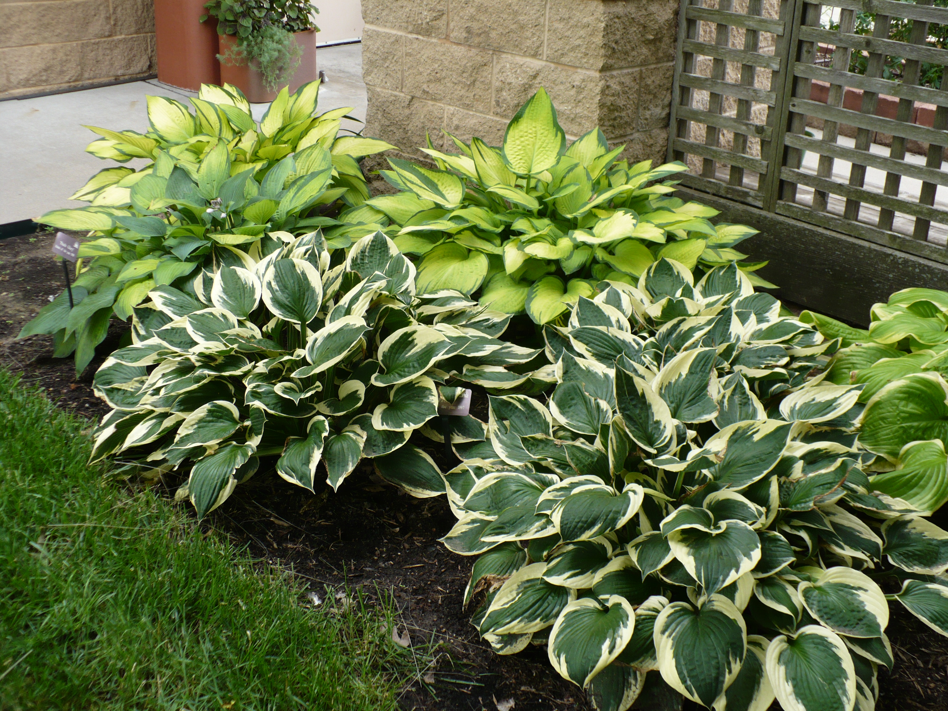 whats in bloom – Hosta Garden Plan