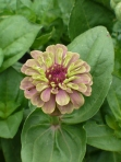 Unique Zinnia
