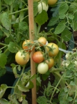 Ripe Tomatoes!
