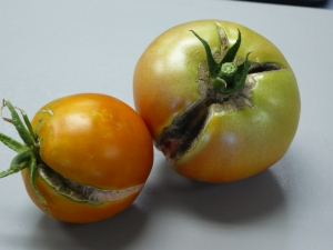 Cracked Family of 4 Tomatoes