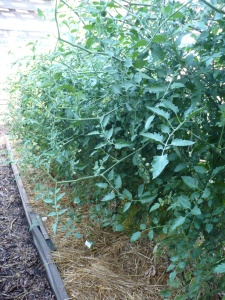 Tomatoes growing down