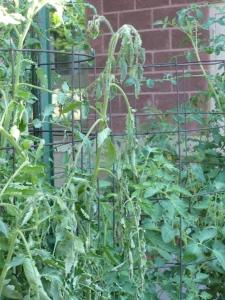 Fusarium Wilted Tomato