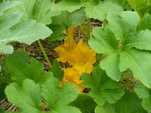 Squash Blooms
