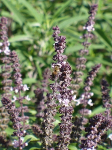 Bee on Basil