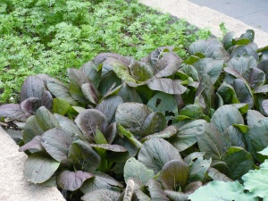 Purple Bok Choy