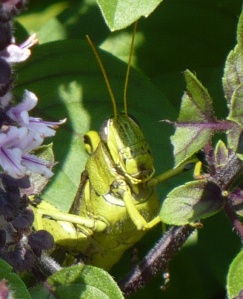 Big Green Grasshopper