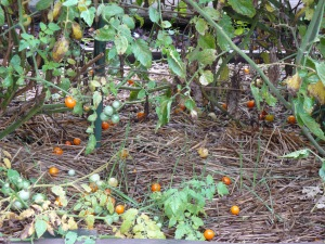 Dropped Cherry Tomatoes