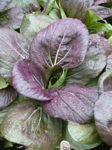 Purple Choy in the Rain