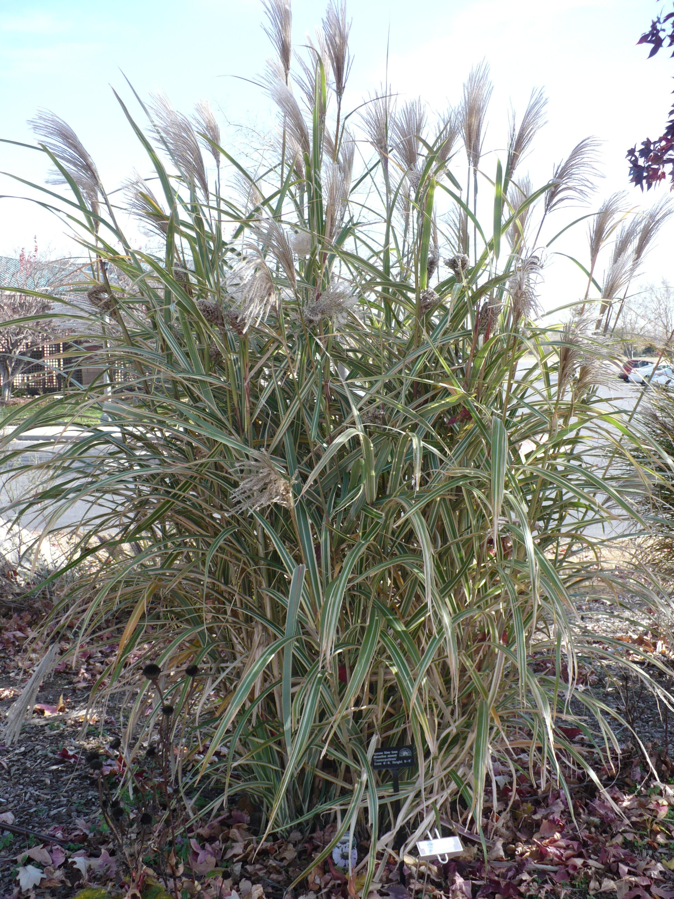 Ornamental grass the demo garden blog for Japanese grass