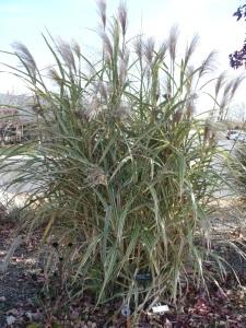 'Cosmopolitan' Japanese Silver Grass