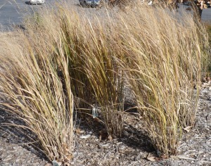 Northwind Switchgrass