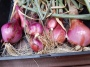 Tuesday Garlic & Shallot Harvest