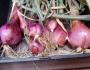 Tuesday Garlic & ShallotHarvest